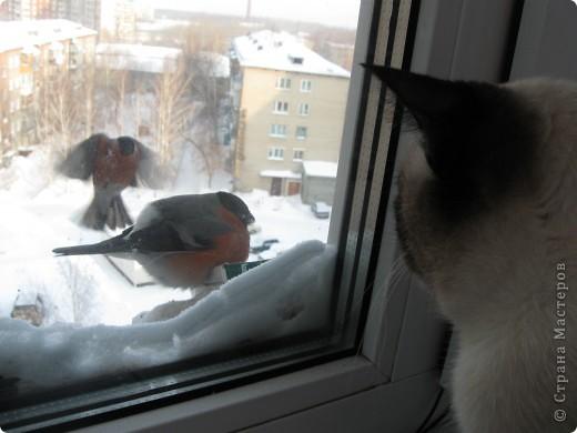 Очень люблю кошек, особенно сиамских. Имею трех. Самой старшей Симе-15 лет,ее дочке Соньке-7, а найденышу Касе- Касандре- 1год. Год назад в самый мороз дочь принесла домой, найденное в снегу чудище, блохастое, со сломанным бедром и очень грязное. Но теперь -это чудище завоевало любовь всей семьи! Наша Кася!!!! фото 10
