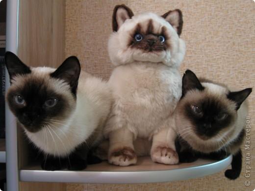 Очень люблю кошек, особенно сиамских. Имею трех. Самой старшей Симе-15 лет,ее дочке Соньке-7, а найденышу Касе- Касандре- 1год. Год назад в самый мороз дочь принесла домой, найденное в снегу чудище, блохастое, со сломанным бедром и очень грязное. Но теперь -это чудище завоевало любовь всей семьи! Наша Кася!!!! фото 15