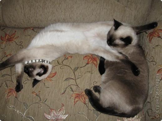 Очень люблю кошек, особенно сиамских. Имею трех. Самой старшей Симе-15 лет,ее дочке Соньке-7, а найденышу Касе- Касандре- 1год. Год назад в самый мороз дочь принесла домой, найденное в снегу чудище, блохастое, со сломанным бедром и очень грязное. Но теперь -это чудище завоевало любовь всей семьи! Наша Кася!!!! фото 11