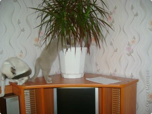 Наш Британский короткошерстный котик Барни. фото 2