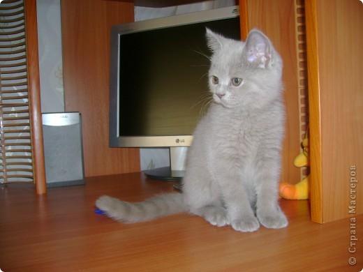 Наш Британский короткошерстный котик Барни. фото 1
