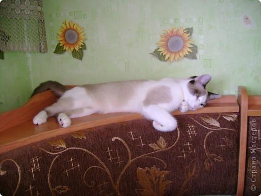 Наш Британский короткошерстный котик Барни. фото 3