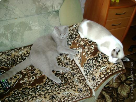 Наш Британский короткошерстный котик Барни. фото 4