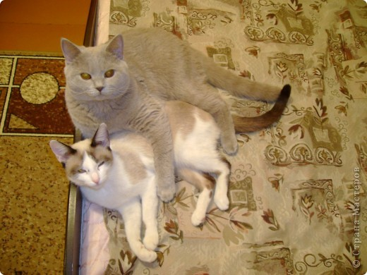 Наш Британский короткошерстный котик Барни. фото 5