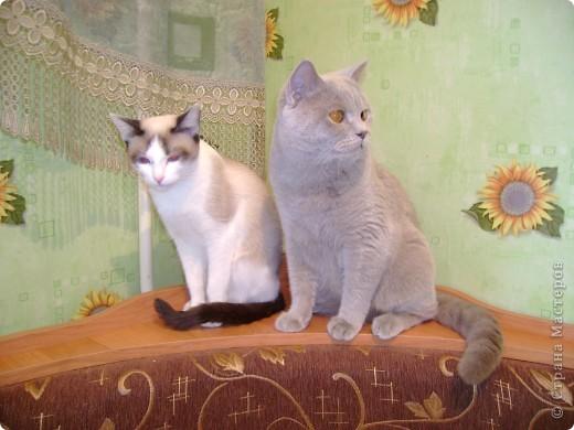 Наш Британский короткошерстный котик Барни. фото 6