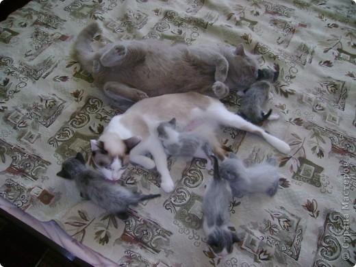 Наш Британский короткошерстный котик Барни. фото 7