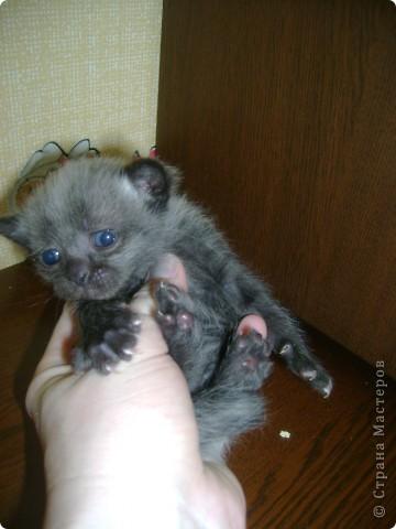 Наш Британский короткошерстный котик Барни. фото 8