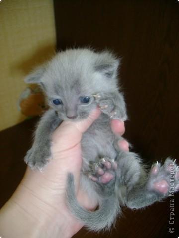 Наш Британский короткошерстный котик Барни. фото 9