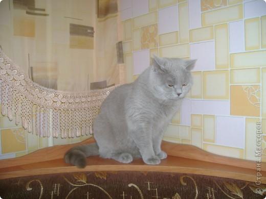 Наш Британский короткошерстный котик Барни. фото 15
