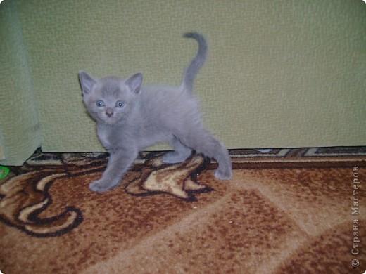 Наш Британский короткошерстный котик Барни. фото 13