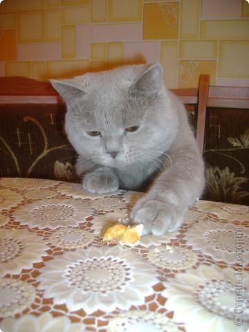 Наш Британский короткошерстный котик Барни. фото 16