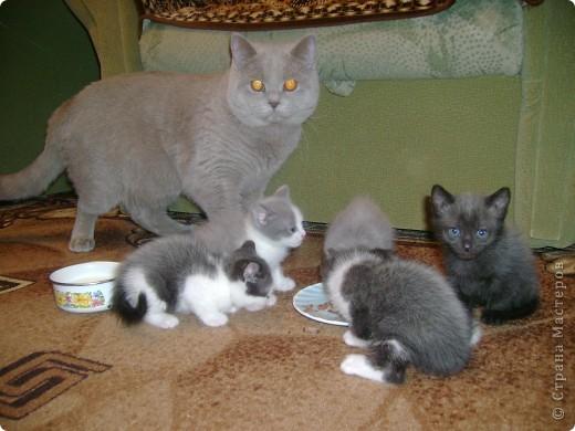 Наш Британский короткошерстный котик Барни. фото 12