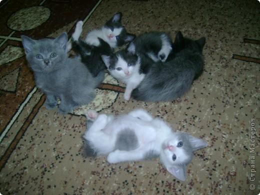 Наш Британский короткошерстный котик Барни. фото 11