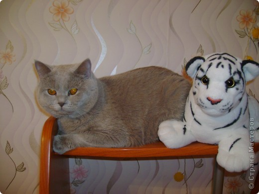 Наш Британский короткошерстный котик Барни. фото 20