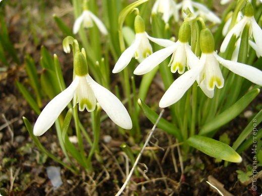 Моя любимая печеночница. Она самая первая предвещает весну! фото 4