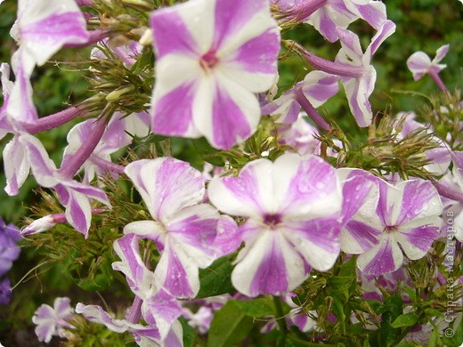"""""""Обновки"""" моего цветника. Осень! фото 5"""