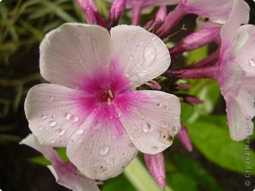 """""""Обновки"""" моего цветника. Осень! фото 7"""