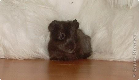 Гошенька. Ему два месяца.Мне его подарил друг. Он был совсем маленький, комочек шерсти.   фото 1
