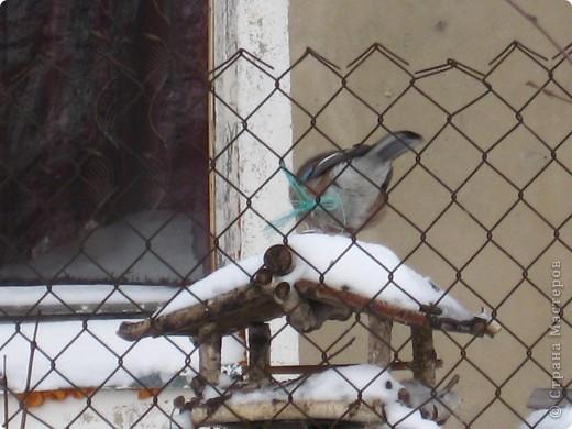 """В эти морозные, снежные дни, что были на Рождество и Крещение нам удалось подобраться поближе к нашим пернатым друзьям. И вот что удивительно: зимой Фунтик на птиц  не охотится. А вот летом... Признаюсь вам честно, друзья мои, ему за это от меня влетает. Вначале он не понимал:""""За что?!! Охота есть охота..."""" А потом стал просто-напросто охотиться тайком от меня. Я обнаруживала порой только  следы этой охоты.  фото 3"""