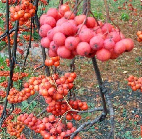 Осень 2010 года преподнесла нам в подарок необычайный урожай рябины. Ветви клонились к земле под тяжестью кистей. фото 1