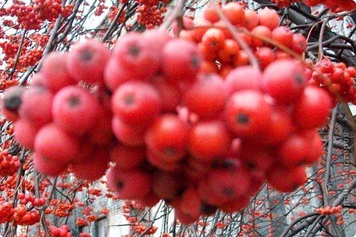 Осень 2010 года преподнесла нам в подарок необычайный урожай рябины. Ветви клонились к земле под тяжестью кистей. фото 3