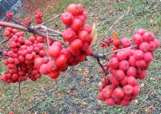 Осень 2010 года преподнесла нам в подарок необычайный урожай рябины. Ветви клонились к земле под тяжестью кистей. фото 4