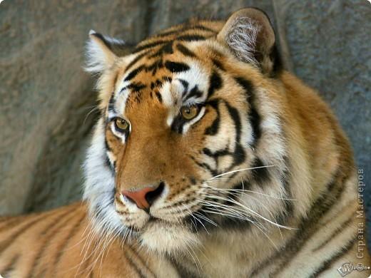 Мой тигруля фото 2