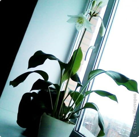 Впервые после переезда на новую квартиру у нас расцвел цветок фото 1