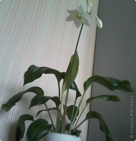 Впервые после переезда на новую квартиру у нас расцвел цветок фото 4
