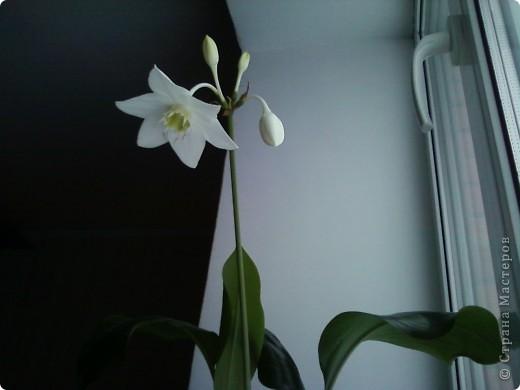 Впервые после переезда на новую квартиру у нас расцвел цветок фото 2