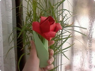 Тюльпан фото 2