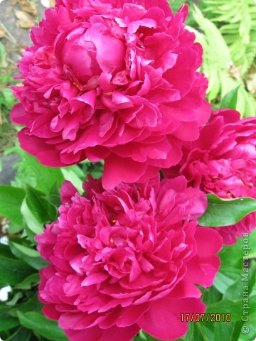 Уже так хочется на дачу! Смотрела на свои цветы 2010года, решила вам показать. Пионы. фото 1