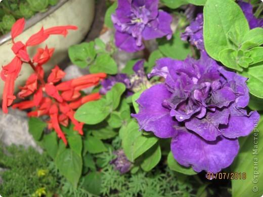 Уже так хочется на дачу! Смотрела на свои цветы 2010года, решила вам показать. Пионы. фото 8
