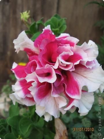 Уже так хочется на дачу! Смотрела на свои цветы 2010года, решила вам показать. Пионы. фото 7