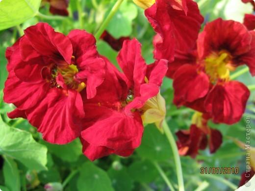 Уже так хочется на дачу! Смотрела на свои цветы 2010года, решила вам показать. Пионы. фото 9