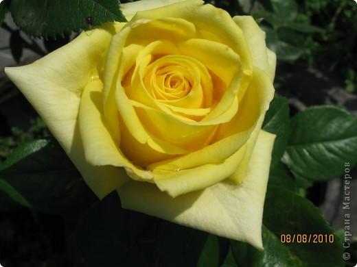 Уже так хочется на дачу! Смотрела на свои цветы 2010года, решила вам показать. Пионы. фото 5