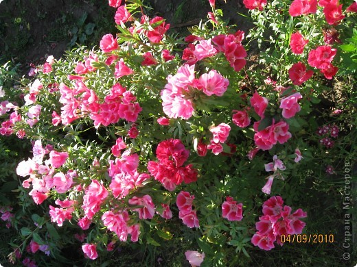 Уже так хочется на дачу! Смотрела на свои цветы 2010года, решила вам показать. Пионы. фото 13