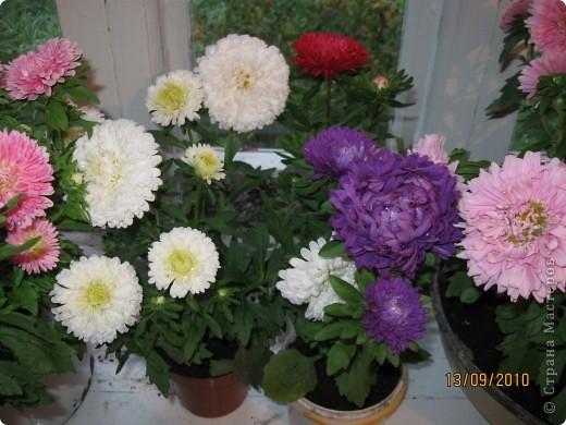 Уже так хочется на дачу! Смотрела на свои цветы 2010года, решила вам показать. Пионы. фото 23