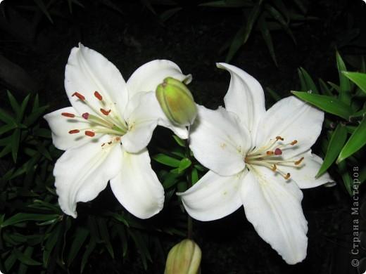 Уже так хочется на дачу! Смотрела на свои цветы 2010года, решила вам показать. Пионы. фото 15