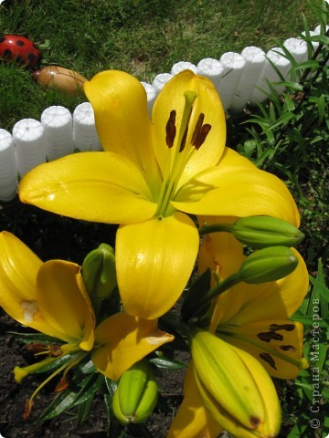 Уже так хочется на дачу! Смотрела на свои цветы 2010года, решила вам показать. Пионы. фото 12