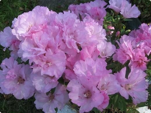 Уже так хочется на дачу! Смотрела на свои цветы 2010года, решила вам показать. Пионы. фото 16