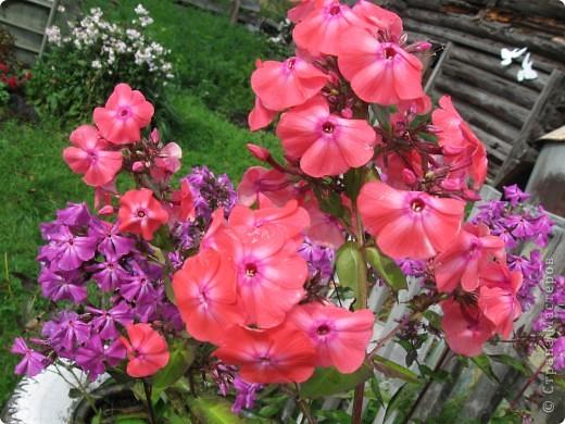 Уже так хочется на дачу! Смотрела на свои цветы 2010года, решила вам показать. Пионы. фото 17