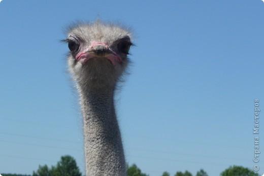 Летом я с родителями ездил на страусиную ферму. Очень понравилось! фото 2