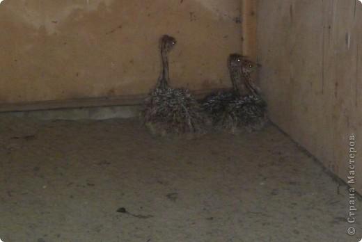 Летом я с родителями ездил на страусиную ферму. Очень понравилось! фото 6