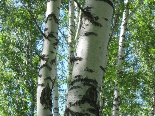 Мой любимый лес. Мой, потому, что большая часть моего детства прошла здесь.  фото 13
