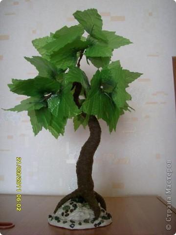 мое первое дерево клен фото 1