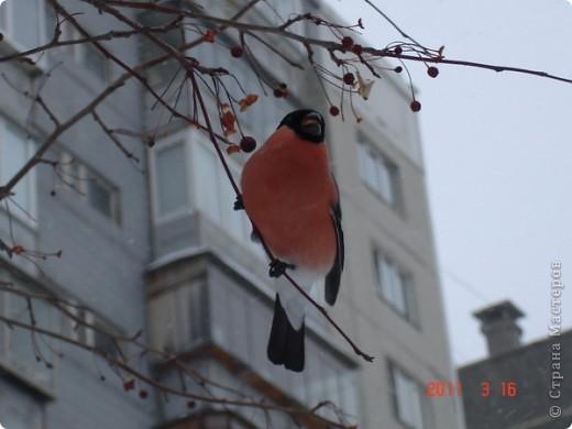 Снегирь самец фото 4