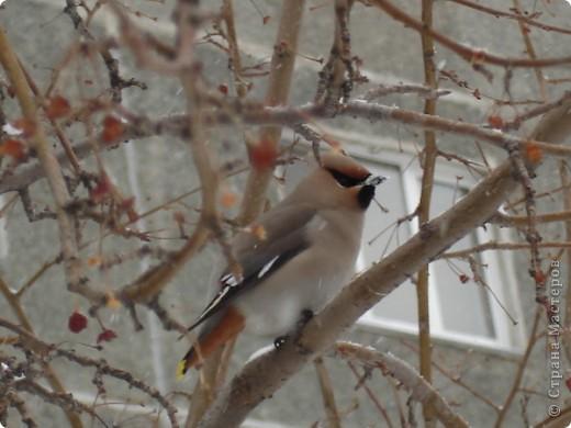 Снегирь самец фото 19