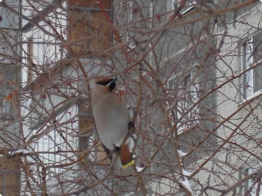 Снегирь самец фото 20