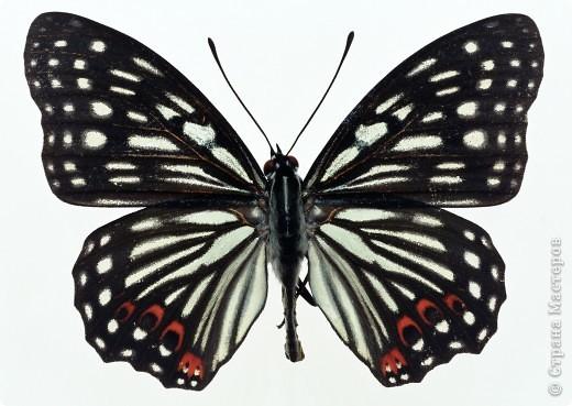 """По просьбам """"трудящихся"""" выкладываю фото настоящих бабочек. Может кого нибудь вдохновит на создания какого-нибудь шедевра. Включайте свою фантазию и творите - лепите и расписывайте ( как это сделала я), вышивайте, рисуйте и т.п.  Желаю всем удачи и творческого вдохновения! фото 1"""